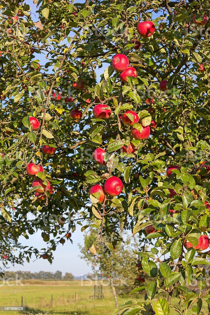 Apple Tree in Autumn. stock photo