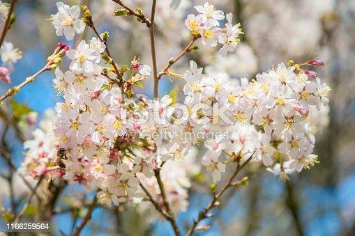 Apple Tree in Bloom