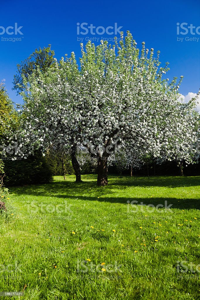 Apple Tree in Bloom royalty-free stock photo