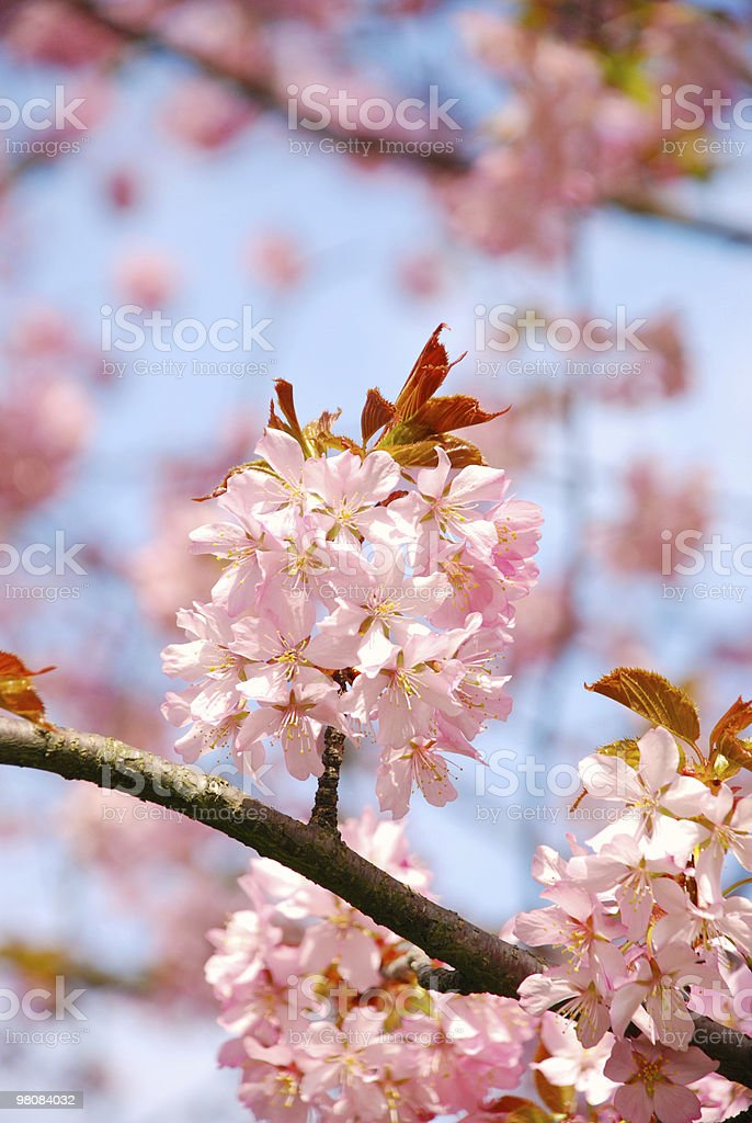 Apple tree in blossom royalty-free stock photo