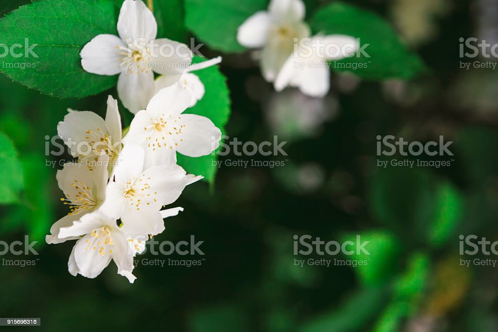 spring nature backgrounds. Apple Tree In Blossom, Spring Nature Background Royalty-free Stock Photo Backgrounds