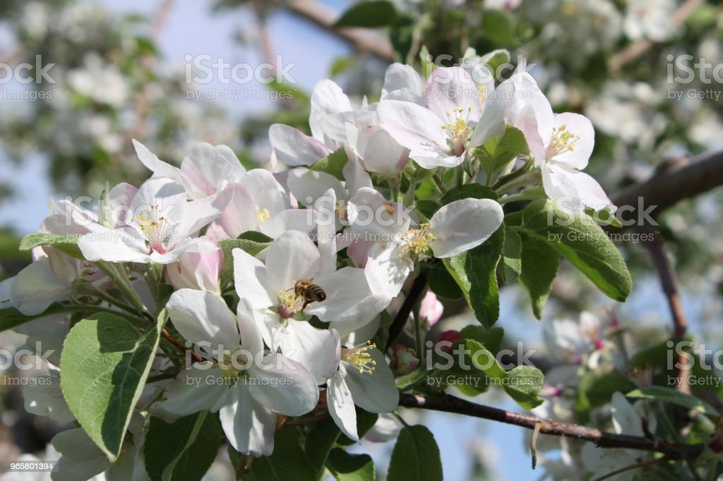 appelboom in volle bloei - Royalty-free Appel Stockfoto