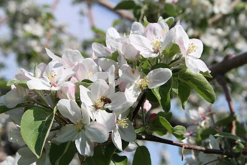 Appelboom In Volle Bloei Stockfoto en meer beelden van Appel