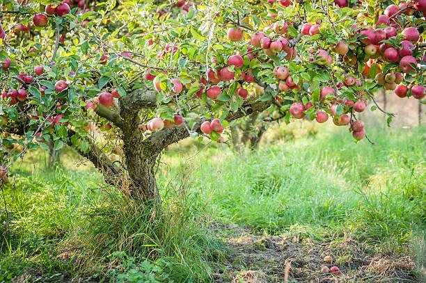 apple tree in old apple orchard horizontal. - fruitboom stockfoto's en -beelden