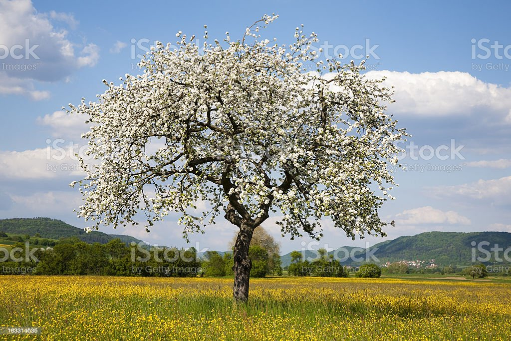Apple Tree in Spring Landscape royalty-free stock photo