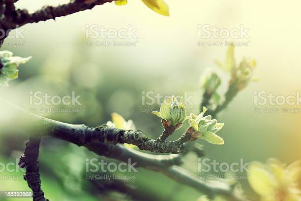 Photo of apple tree in spring