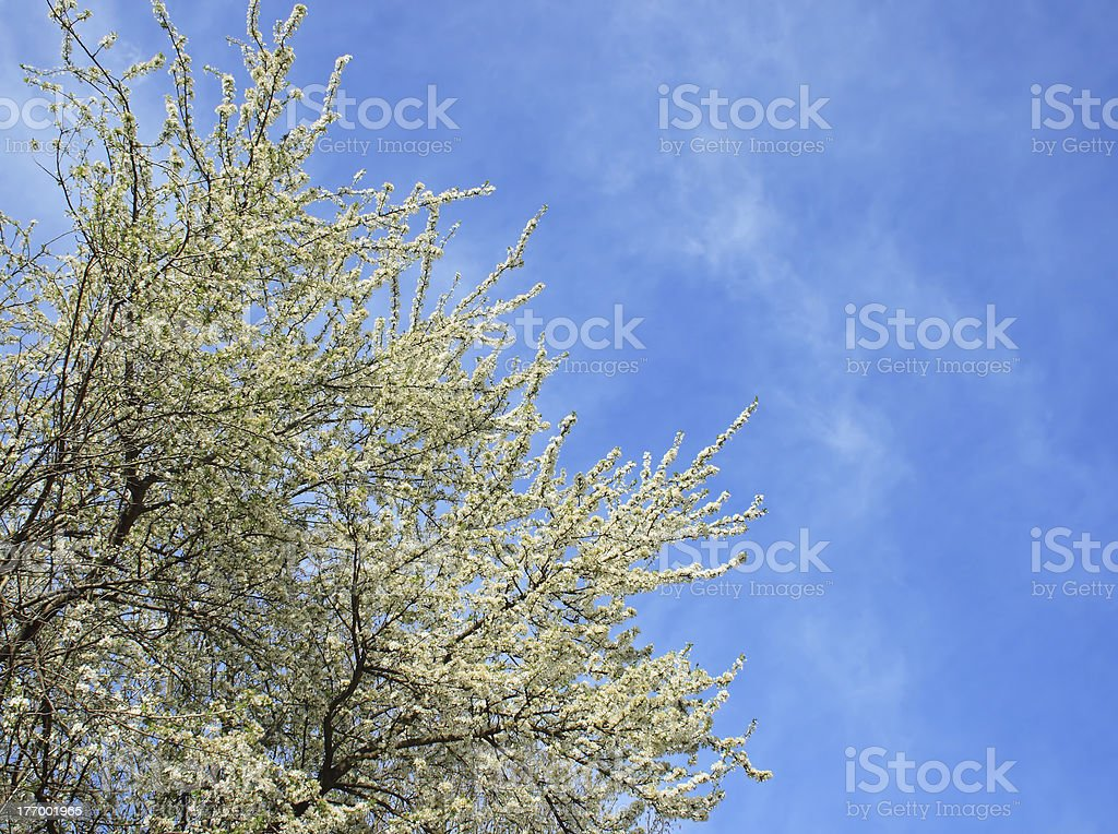 Apple tree in spring royalty-free stock photo