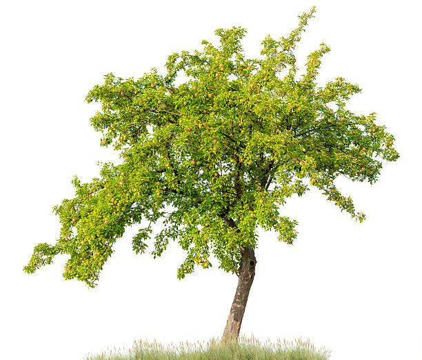 apfelbaum im sommer, isoliert auf weiß (malus domestica) apples. - apfelbaum stock-fotos und bilder