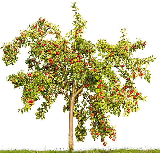 Apple tree in summer isolated on white (Malus domestica) +apples. stock photo