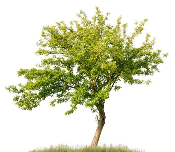 apfelbaum im sommer, isoliert auf weiß (malus domestica). - apfelbaum stock-fotos und bilder