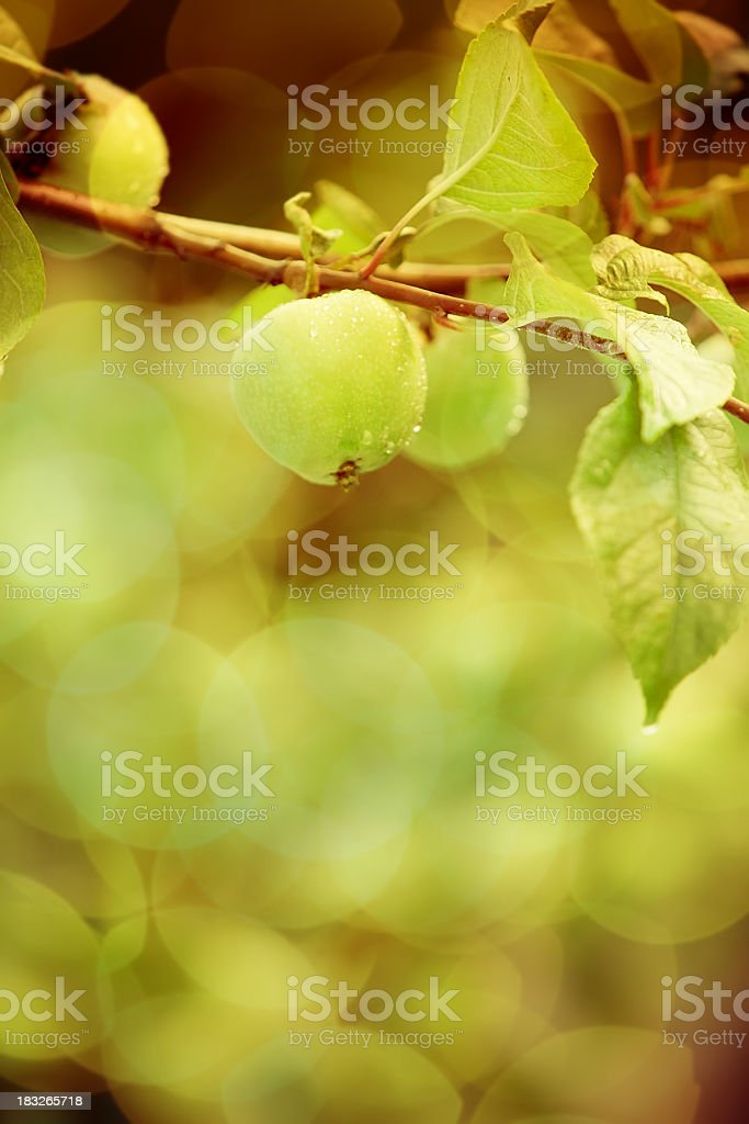 Apple tree in the evening sunlight royalty-free stock photo