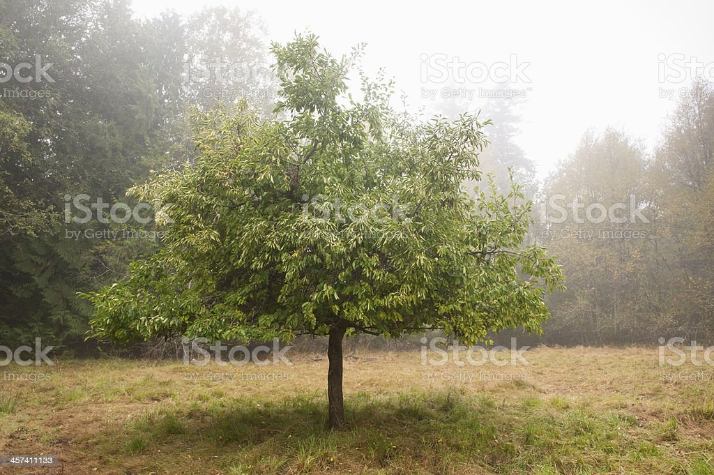 Apple Tree in the Fog. royalty-free stock photo