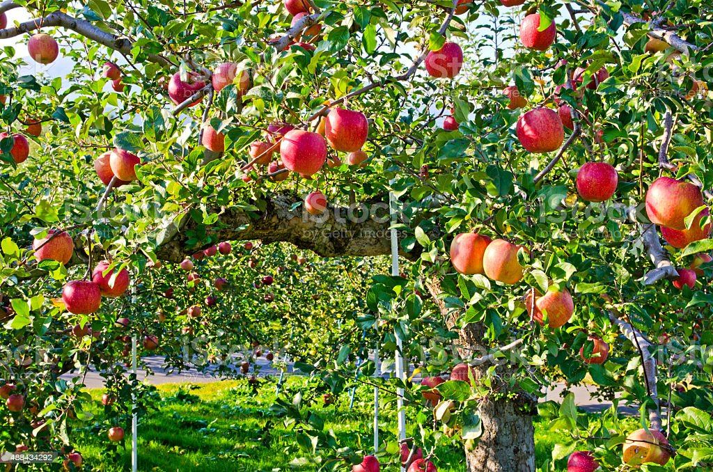 Apple tree in the garden. stock photo