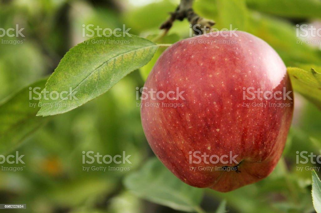 Apple tree in the garden stock photo