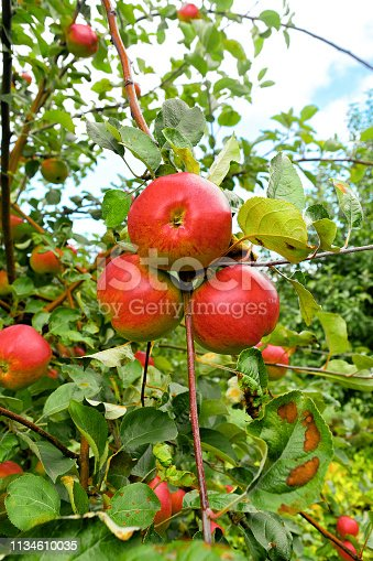 Apple tree in the garden with lots of apples on it