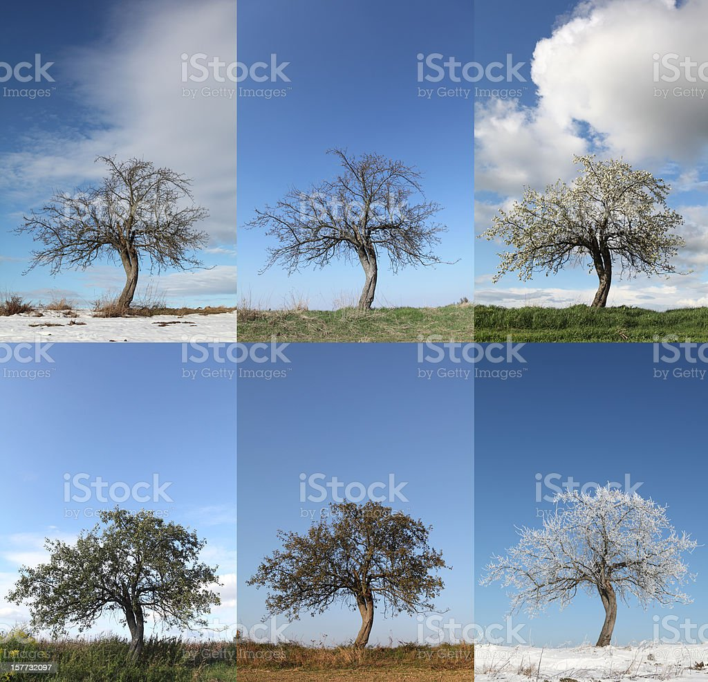 Apple tree in various seasons stock photo