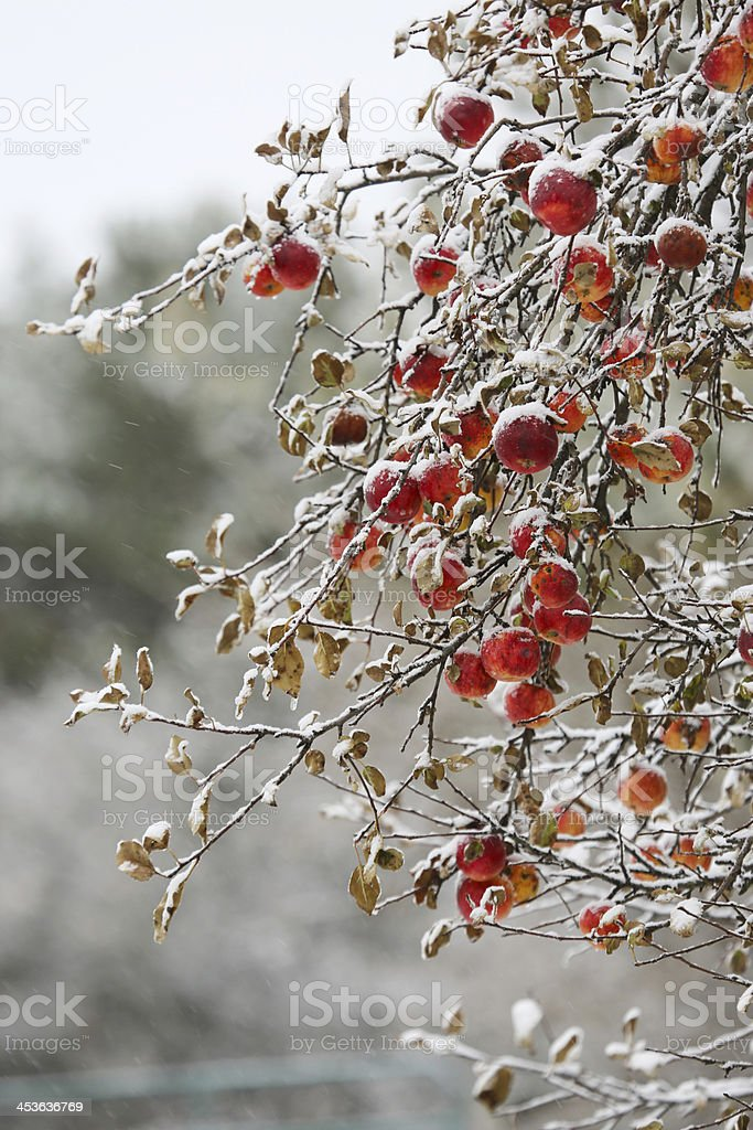 Apple tree in winter snow storm vertical royalty-free stock photo