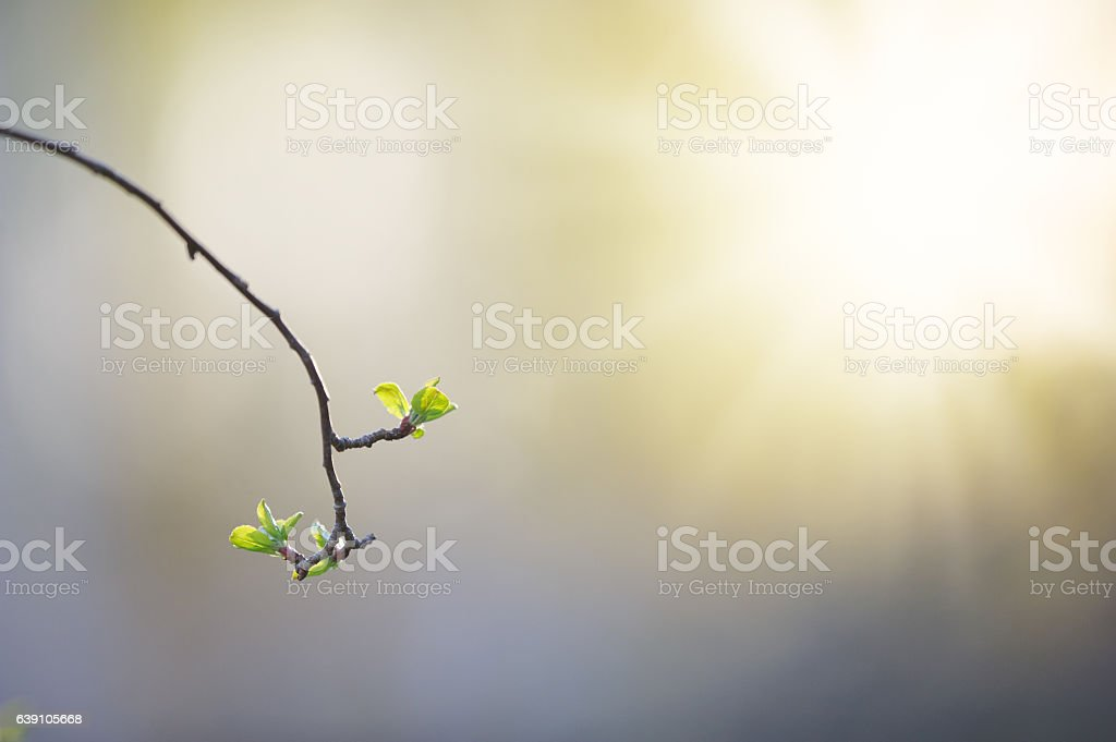Apple tree leaves in spring stock photo