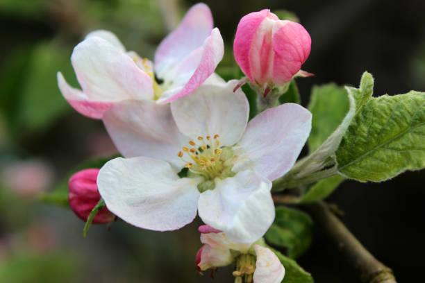 Apple tree Malus domestica, close-up of spring blossom stock photo
