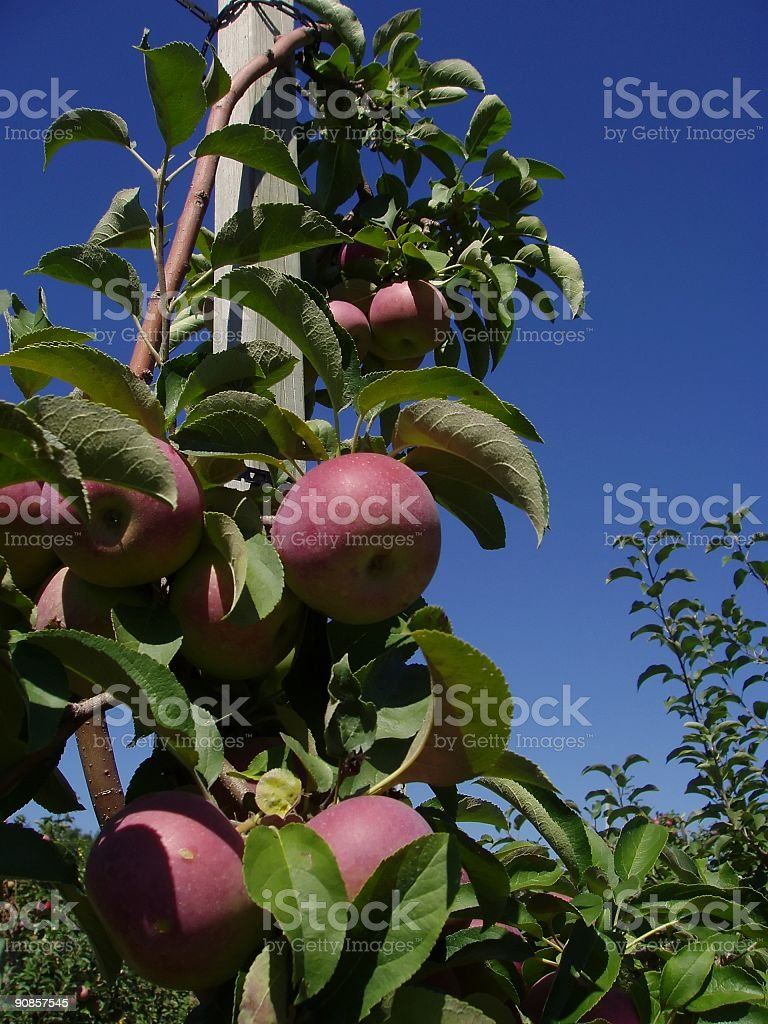 Apple tree on a post stock photo