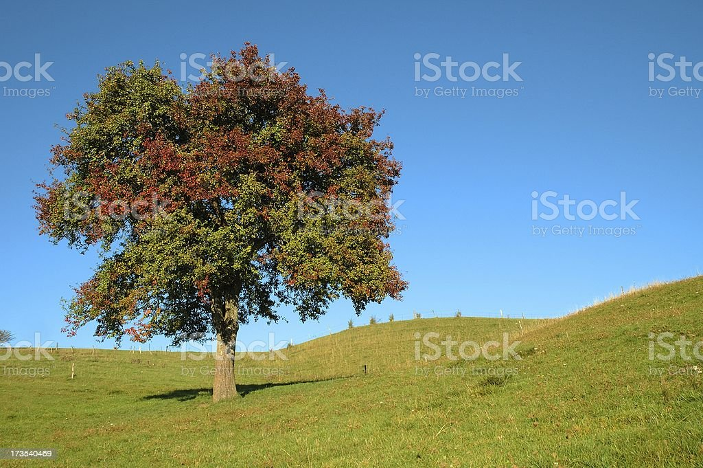 Apple tree on rolling hill royalty-free stock photo