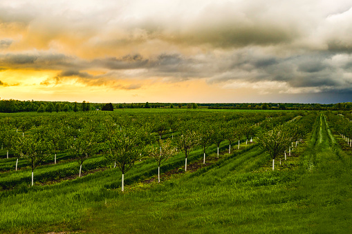 A view of a field of apple trees during a stormy sunset.