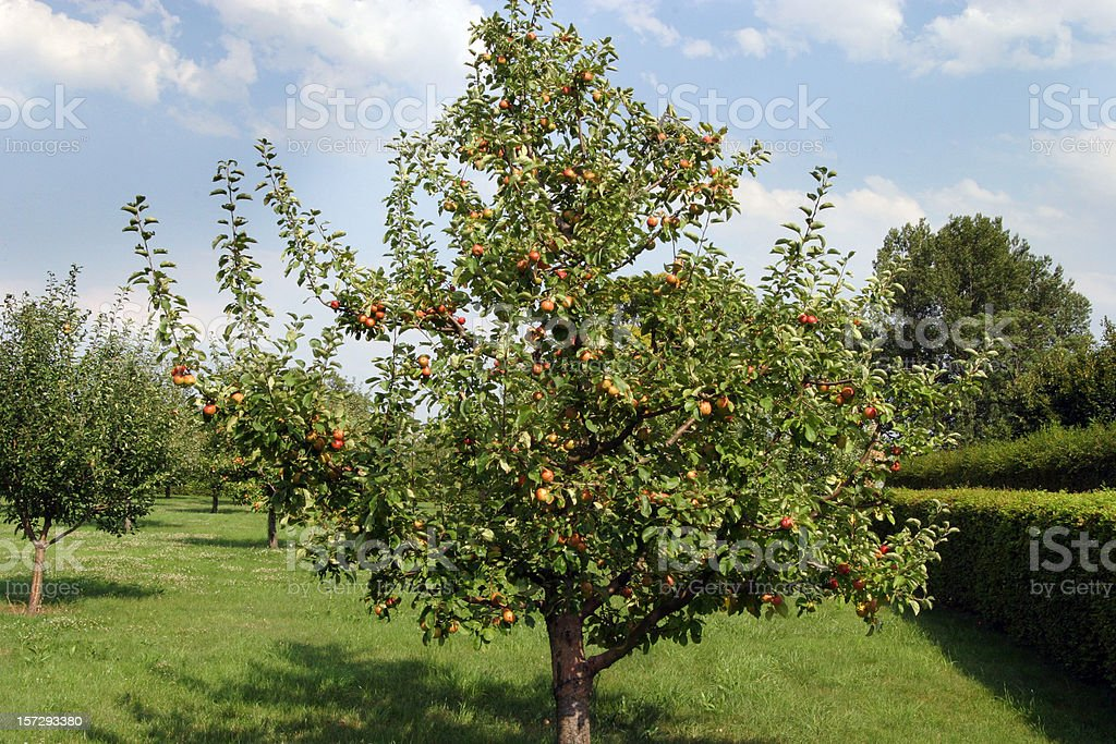 Apple Tree Orchard Full of Fruit royalty-free stock photo