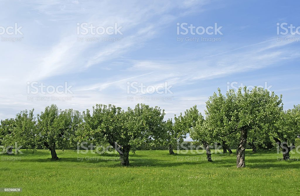 Apple tree orchard royalty-free stock photo