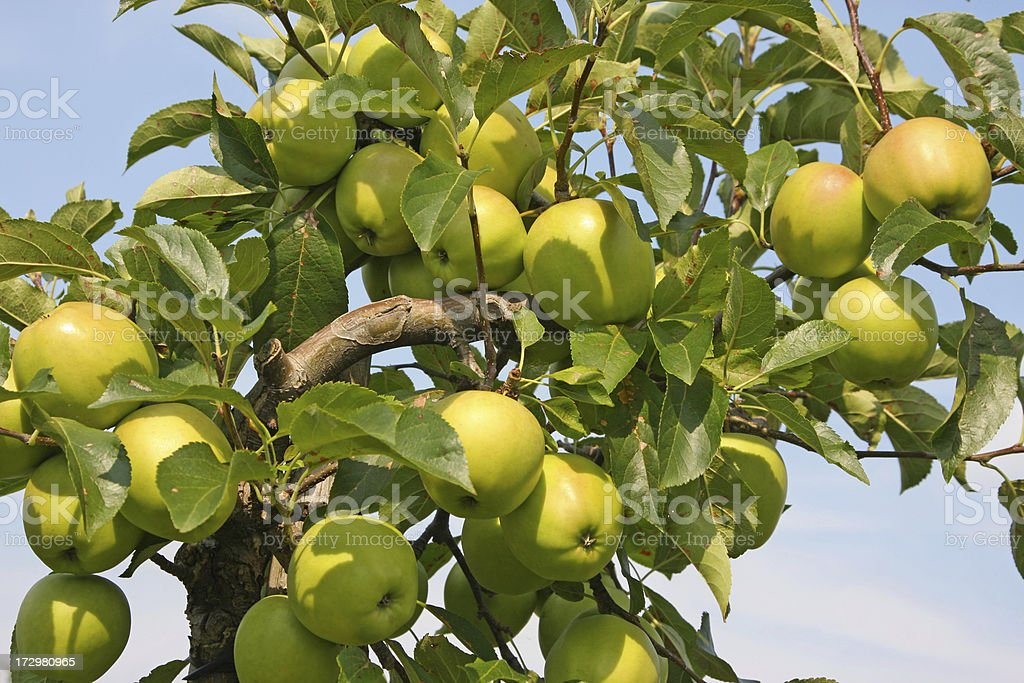 Apple tree - orchard # 18 XL royalty-free stock photo