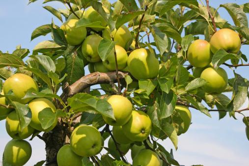 Apple tree - orchard # 18 XL