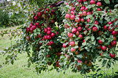 Red ripe apples on a healthy tree in autumn/fall