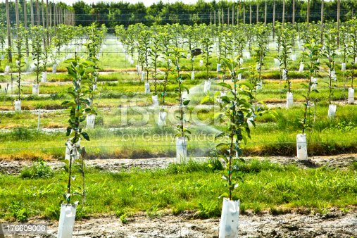 Growing Young Apple Trees with Automatic Irrigation System.