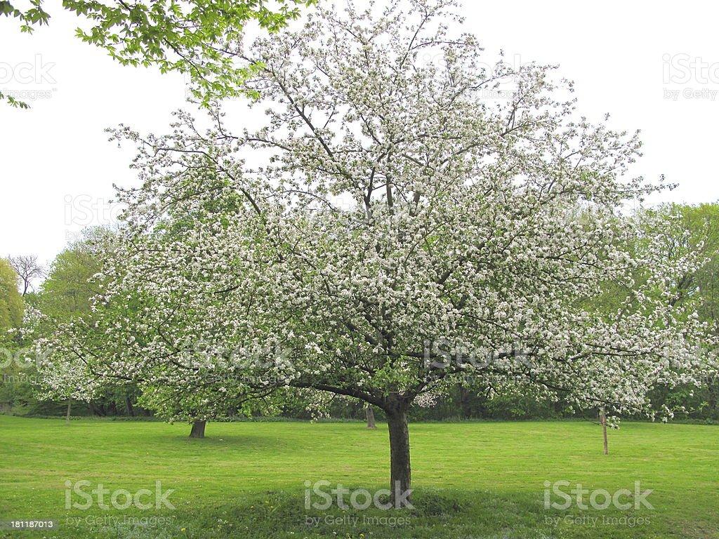 Apple tree royalty-free stock photo