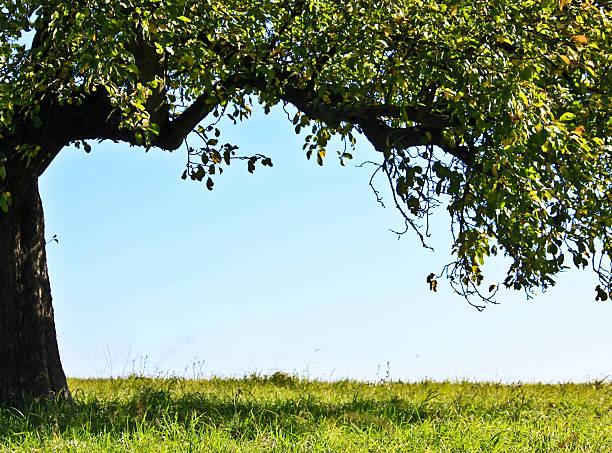 apple tree – Foto