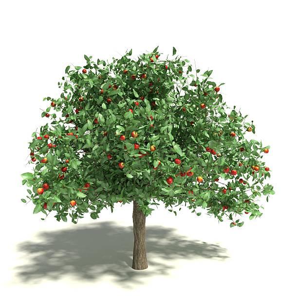 apple tree - fruitboom stockfoto's en -beelden