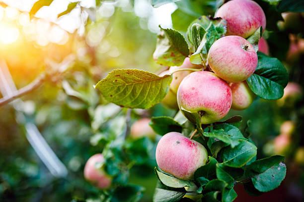 apple tree - bio lebensmittel stock-fotos und bilder