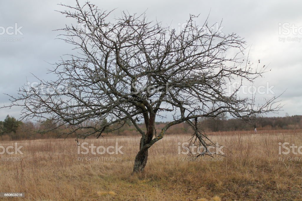 apple tree royalty-free stock photo