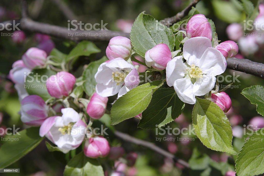 apple tree Lizenzfreies stock-foto