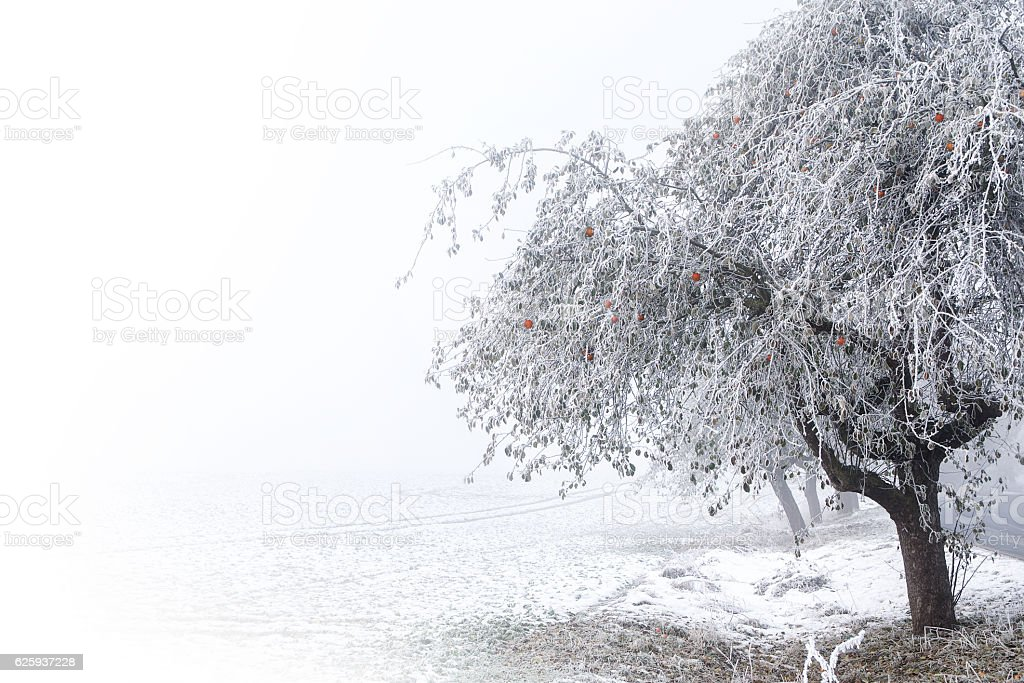 Apple tree, red apples and hoarfrost in the snowy field stock photo