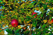 A fresh ripe delicious red apple hangs between green leaves on a twig in an apple tree.