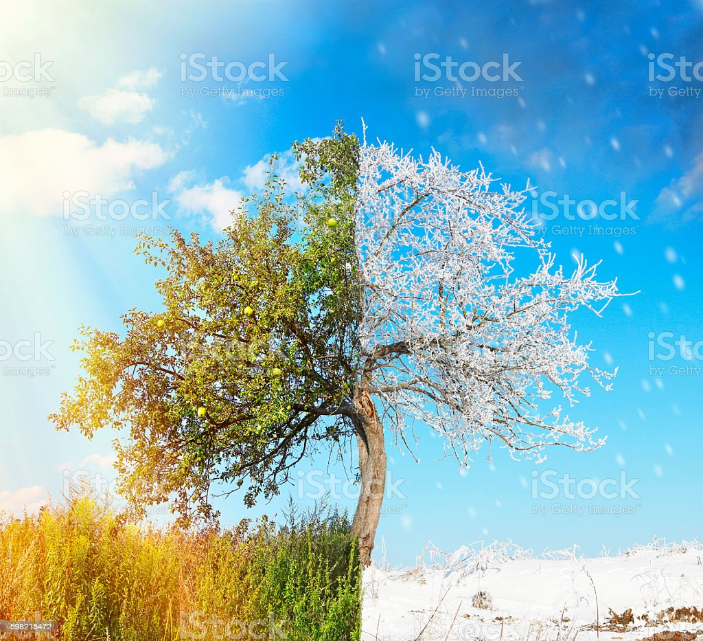 Apple tree split in two seasons summer and winter stock photo