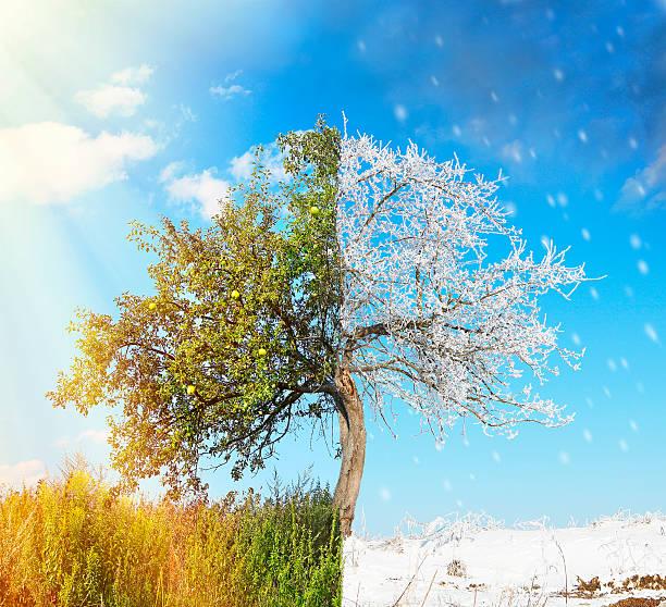 apple tree split in two seasons summer and winter - arbre à feuilles caduques photos et images de collection