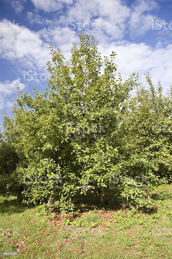 Apple Tree - Vertical royalty-free stock photo