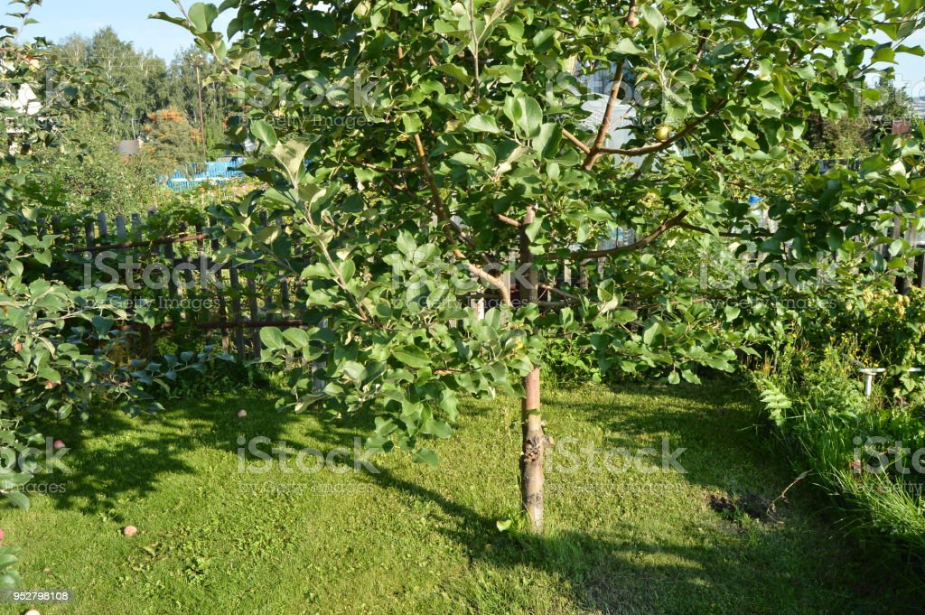 Apple tree with apples growing in the garden on the background of grass and a wooden fence stock photo