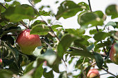 Apple tree with apples, organic natural fruits in garden