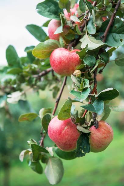 Apfelbaum mit Äpfeln – Foto