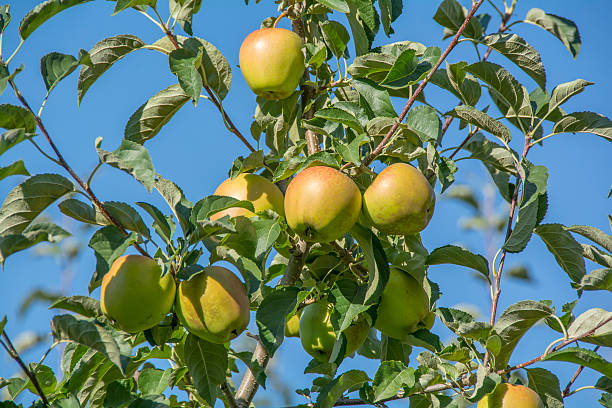 Apple tree with apples, ready for harvest – Foto