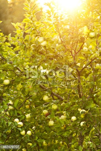 505840263istockphoto Apple tree with beautiful and tasty apples in sunlight 462429707