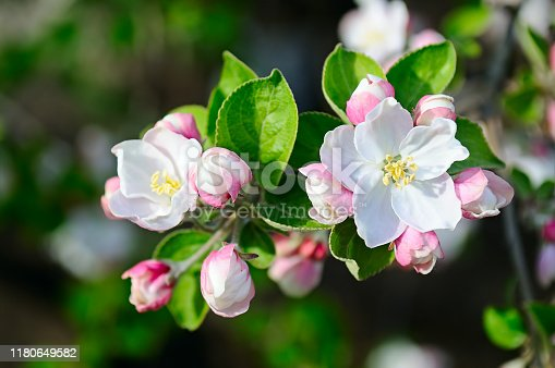 istock Apple tree with beautiful spring flowers on a natural background. 1180649582