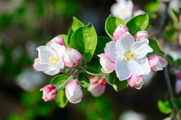 Apfelbaum mit schönen Frühlingsblumen auf natürlichem Hintergrund. – Foto